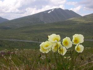 На снимке: альпийский мак в Ссаянах
