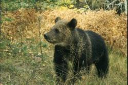 Медвежья напасть
