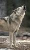 Барнаульские волки, от которых пострадали и жители Тувы – в клетке