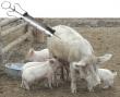 Свиной грипп прибыл в Туву из Болгарии