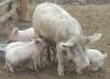 Свиной грипп из санатория