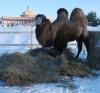 Верблюд в крематории