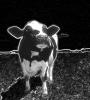 Смертельная корова