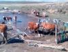 Коровы и овцы губят Дус-Холь