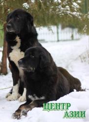 Перед кызыльскими генетиками поставлена задача: догнать и перегнать московских в решении проблемы возрождения породы тувинской овчарки